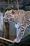 Persischer Leopard des Porträts, Panthera pardus saxicolor, das auf einer Niederlassung sitzt Stockfotografie