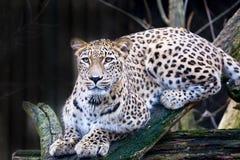 Persischer Leopard des Porträts, Panthera pardus saxicolor, das auf einer Niederlassung sitzt Stockbild