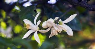 Persischer Limettenbaum in der Blüte Stockbilder