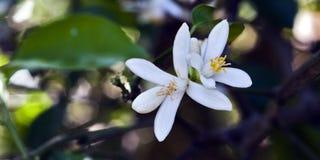 Persischer Limettenbaum in der Blüte Stockfotos