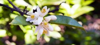 Persischer Limettenbaum in der Blüte Lizenzfreies Stockfoto