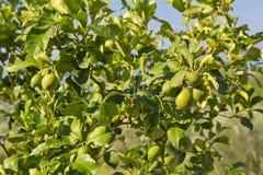 Persischer Limettenbaum mit seinem Obstbau in der starken Sonne in Italien Lizenzfreie Stockfotografie