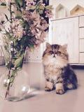 Persisches Kätzchen lizenzfreies stockbild
