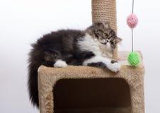 Persisches Kätzchen des dunklen Farbtons Stockfotografie