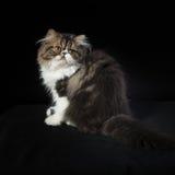 Persisches Kätzchen des dunklen Farbtons Stockbilder