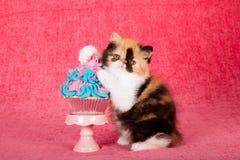 Persisches Kätzchen des Kalikos mit den Tatzen auf blauem und rosa kleinem Kuchen auf hellem rosa Hintergrund Lizenzfreies Stockfoto