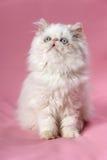 Persisches Sahnecolorpoint Kätzchen Stockbilder