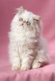 Persisches Sahnecolorpoint Kätzchen Lizenzfreies Stockfoto
