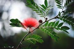 Persisk blomma för siden- träd Royaltyfria Foton