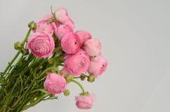Persisk buttercup Gruppgräns - den rosa ranunculusen blommar ljus bakgrund royaltyfria bilder