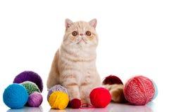 Persisk exotisk katt som isoleras med bollar av olika färger Fotografering för Bildbyråer