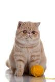 Persisk exotisk katt som isoleras med bollar av olika färger Arkivfoton