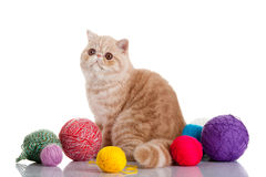 Persisk exotisk katt som isoleras med bollar av olikt färggarn Arkivbild