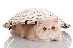 Persisk exotisk kattunge under korg isolerat djur Arkivfoton
