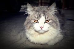 persisk katt Royaltyfri Foto