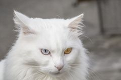 persisk katt Royaltyfri Fotografi