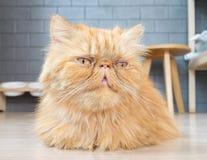persisk katt Arkivbild