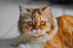 persisk katt Arkivbilder