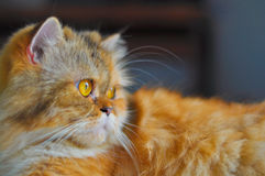 persisk katt Royaltyfria Bilder
