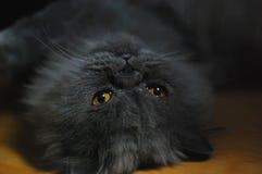 persisk katt Royaltyfri Bild