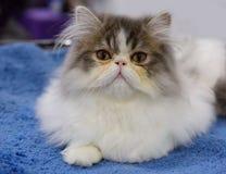 persisk katt Fotografering för Bildbyråer