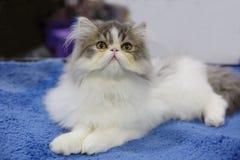 persisk katt Arkivfoton