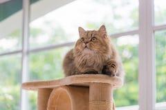 Persisk katt för gullig brun strimmig katt arkivfoton