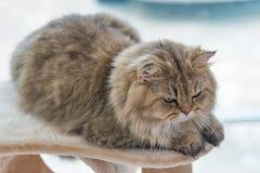 Persisk katt för gullig brun strimmig katt royaltyfri bild