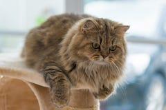Persisk katt för gullig brun strimmig katt royaltyfria bilder