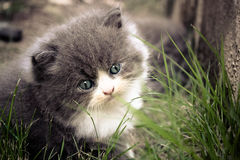Persisk kattunge Arkivbild