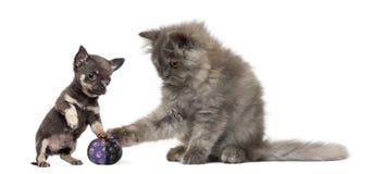 Persisk kattunge och Chihuahuavalp som leker med en klumpa ihop sig arkivbild