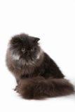Persisk kattunge Royaltyfria Foton