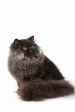 Persisk kattunge Arkivfoto