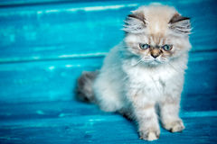 Persisk kattungeblåttbakgrund Royaltyfria Foton
