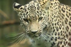 Persisk leopard Arkivbilder