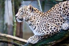 Persisk leopard för stående, sammanträde för Pantherapardussaxicolor på en filial Fotografering för Bildbyråer