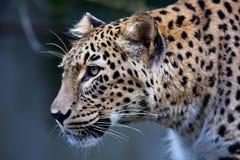 Persisk leopard för stående, sammanträde för Pantherapardussaxicolor på en filial Arkivfoton