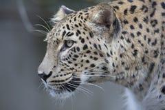 Persisk leopard för stående, sammanträde för Pantherapardussaxicolor på en filial Royaltyfria Bilder