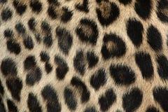 Persisk leopard (Pantherapardussaxicoloren) abstrakt textur för bakgrundsclosepäls upp Fotografering för Bildbyråer