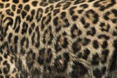 Persisk leopard (Pantherapardussaxicoloren) abstrakt textur för bakgrundsclosepäls upp Arkivbilder