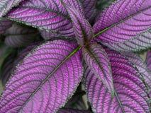 Persisk sköldväxt Royaltyfri Foto