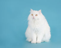 persisk white Arkivfoton