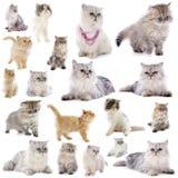 persiska katter Royaltyfria Bilder