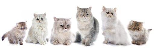 Persiska katter för familj royaltyfri foto