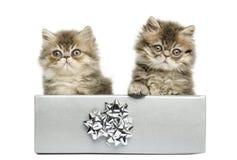 Persiska kattungar som sitter i en silvergåva, boxas, Royaltyfri Fotografi