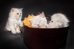 Persiska pussykatter Fotografering för Bildbyråer