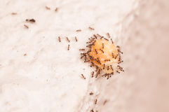 Persistent ants carrying food over  edge of wall Royalty Free Stock Photos
