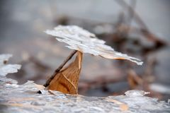 The persistent leaf lingered on a small piece of ice stock photography