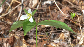 Persistent Trillium. Known from only a few locations in Georgia and South Carolina, persistent trillium was listed as Endangered by the U.S. Fish and Wildlife Stock Image
