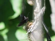 Persius Duskywing fjäril arkivbilder